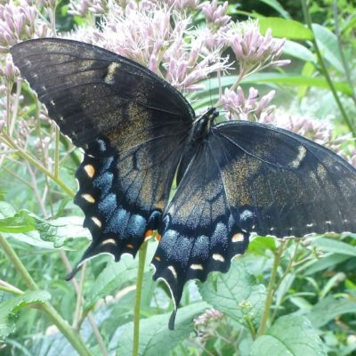 Eastern Tiger Swallowtail, black