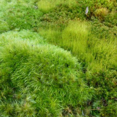 Windswept Moss, Dicranum scoparium