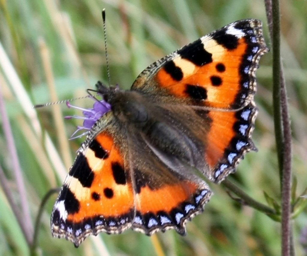 Small Tortoiseshell Butterfly, Ireland Reflections