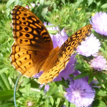 Gallery of Butterflies and Skippers