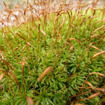 Large Star Moss, Atrichum undulatum