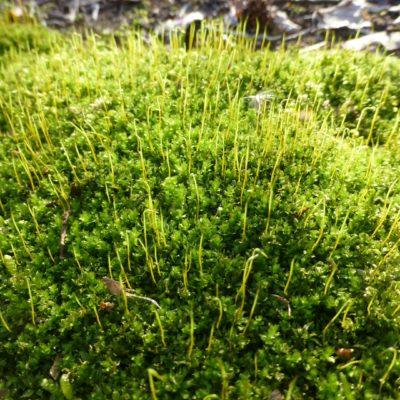 Mnium Moss, Mnium hornum