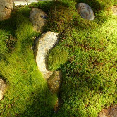 Small Star Moss, Atrichum angustatum