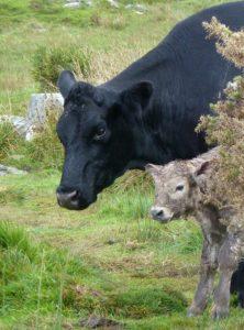 Newborn Calf at Ardgroom Stone Circle, Pilgrimage to Ireland on One Foot