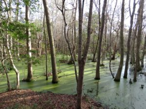 Dune swale, green duckweed, liminal waters