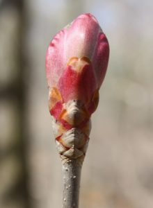 Painted buckeye bud