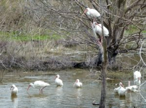 White ibises in salt marsh pond.