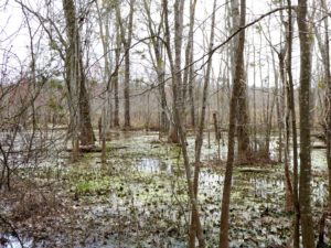 Liminal waters of swamp forest