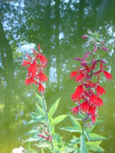 cardinal flowers at pond