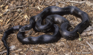 Black Rat Snake by Paul Sattler, Virginia Herpetological Society