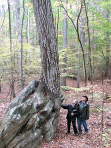 A sacred tree: People looking up at tall oak tree growing out of rock
