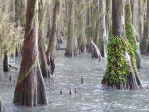 Old growth Bald Cypress trees, festooned with Spanish Moss and Ressurection Ferns, in water at edge of Lake Phelps.