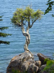 The Witch Tree, Spirit Little Cedar Tree gowing out of Rock on Lake Superior