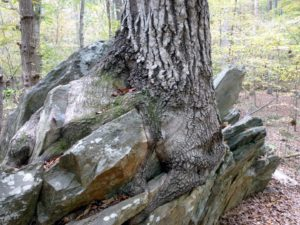 Sacred tree growing out of rock.