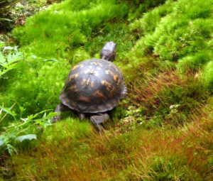 Box Turtle clims up the moss shrine of Mother Earth.