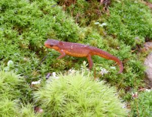 A Red Eft climbs up the moss garden shrine to Mother Earth.