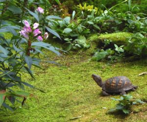 Box turtle looks up at pink turtlehead flowers in moss garden