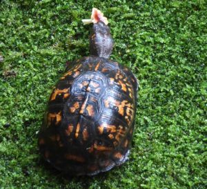 Box Turtle eats mushroom in moss garden.