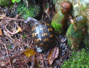 Box Turtle cranes his neck to see a mushroom in the moss garden.