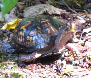 Box Turtle strides forth.