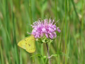 Yellow clouded sulfur butterfly on lavender monarda flower