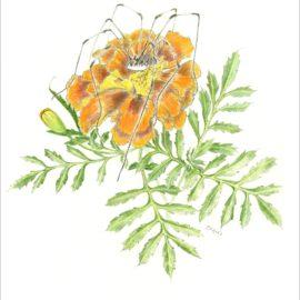 Drawing of orange marigold