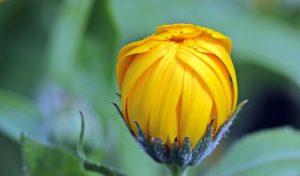 A golden flower bud