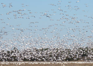 Snow Geese Descending at Pocosin Lakes