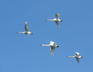 Swans flying at Pocisin Lakes NWR