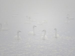Swans emerging from mist.
