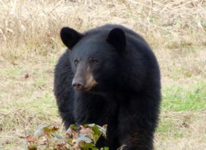 Black Bear at Pososin Lakes NWR