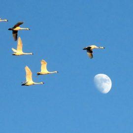 TundraSwans flying over moon at Pocosin Lakesmoon