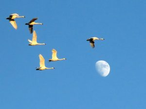 TundraSwans flying over moon at Pocosin Lakesmoon