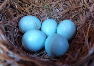 Five bluebird eggs in Restoring the Forest