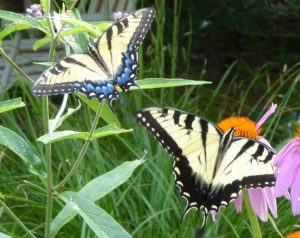Two yellow and black Eastern Tiger Swallowtail Butterflies in Restoring the Forest