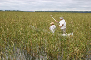 Wild rice harvesting in Minnesota from NMAI