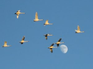 Tundra Swans and Moon, Alligator River NWR