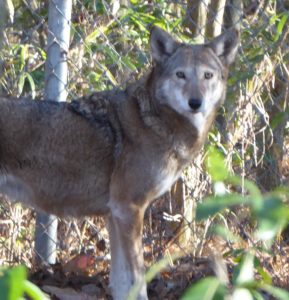 Captive Red Wolf at Alligator River NWR