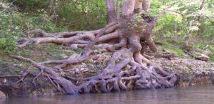 Sycamore Roots (C) Mariah Wheeler