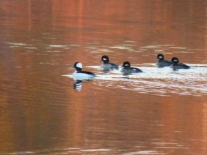 """Five bufflehead ducks in sunset reddened water in """"Turning a Trip Into a Pilgrimage"""