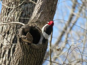 """Red-Headed Woodpecker in """"Turning a Trip Into a Pilgrimage"""""""