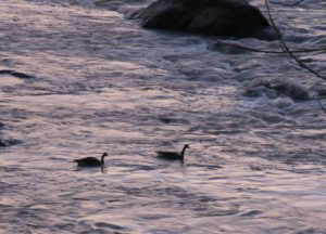 """Two geese braving lavender rapids, Broad River, in """"Turning a Trip Into a Pilgrimage"""""""
