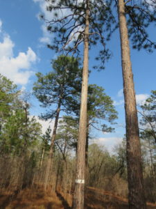 """Red-Cockaded Woodpecker Nest Longleaf PineTree in """"Turning a Trip Into a Pilgrimage"""""""