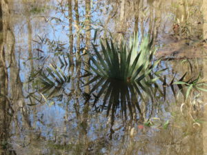 """Saw Palmettos reflected in water, Congaree Swamp, in """"Turning a Trip Into a Pilgrimage"""""""