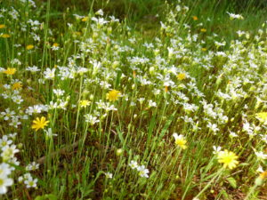 White and yellow flowers at Mitchell Mill SNA in Sacred Ground: A Whale of a Tale