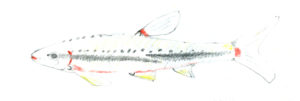 Drawing of a Redbelly Dace by Betty Lou Chaika in Inner Fish/Outer Fish