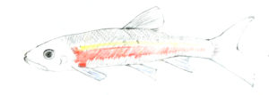 Drawing by Betty Lou Chaika of a Rosyside Dace in Inner Fish/Outer Fish