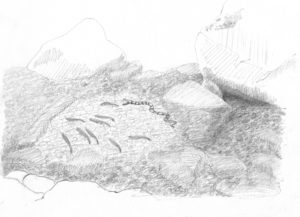 Black and white sketch by Betty Lou Chaika of a bluehead chub's nest and watersnake in Inner Fish/Outer Fish