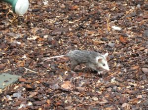 Photo of baby 'possum by Betty Lou Chaika in Earth-Dreaming Ritual: Milk Flows